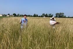 fremont kernza ready for harvest