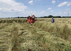 Year 2 Kernza trial at West Badger - SU21 harvest