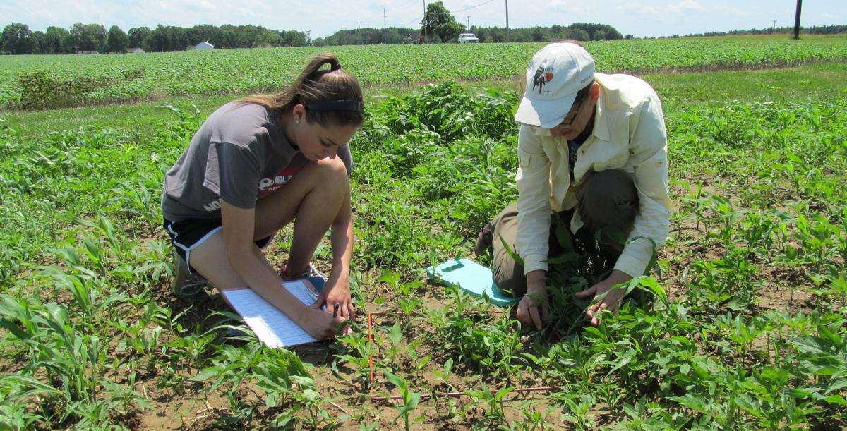 weed research on Ohio State organic field