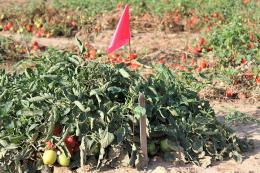 tomato in test plot