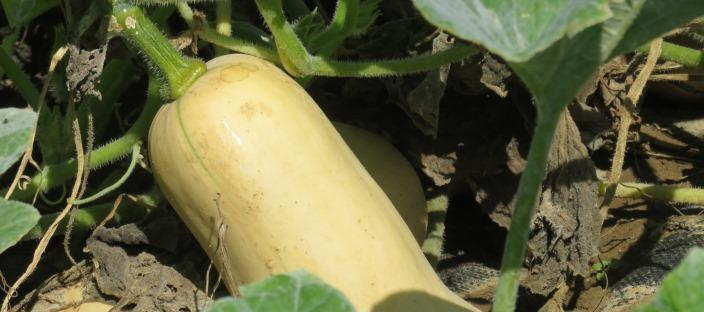 butternut squash on Ohio State organic research field