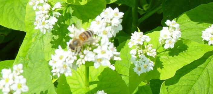 Pollinator on buckwheat flowers