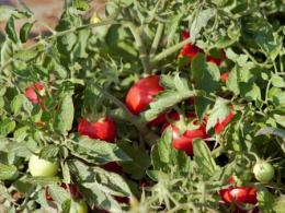Tomato plant at an OARDC research field.