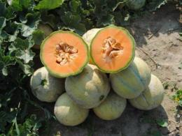 Trifecta melon available from Common Wealth Seed Growers